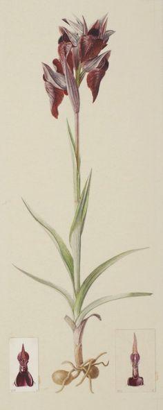 Serapias cordigera L.  1932