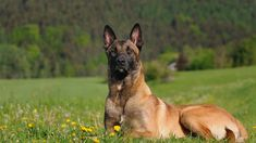 Belgian Malinois - Well-raised and trained Malinois are usually active, intelligent, friendly, protective, alert and hard-working. They exhibit energy levels that are among the highest of all dog breeds. A typical Malinois will have puppy-like energy unti