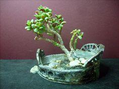 miniaturní Crasula ovata- R.Kaiserová