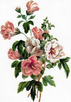 What English painter John Edwards identified as Althaea frutex is now known as Hibiscus syriacus. Edwards included this illustration in his 1801 work, A Collection of Flowers Drawn after Nature.