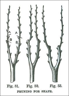"""Pruning for shape:  Lee Valley Reprint of a 1883 article; pruning to buds marked """"A"""" will result in inward growth (fig. 52); pruning to buds marked """"B"""" will result in outward growth (fig. 53)."""