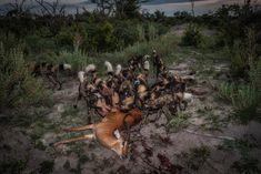 Wild dogs feeding on a kill at dawn in the Okavango. Images made at Chitabe Lediba camp in Botswana African Wild Dog, Okavango Delta, Wild Dogs, Dog Feeding, Impala, Wildlife Photography, Fine Art Paper, Dawn, Safari