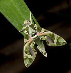 Google Image Result for http://srinivasen.com/blog/wp-content/uploads/Moth-2566F-Web.jpg