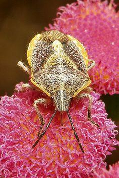 ˚Pentatomid Shield Bug