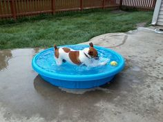 Fido, a Jack Russell Terrier, enjoying a pool party