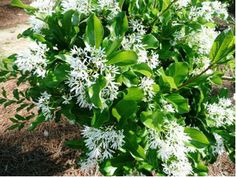 The American Fringe Tree Chionanthus Virginicus Produces Cers Of Flowers With Long Narrow