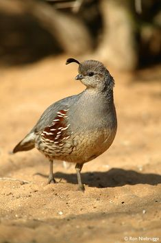 Gambel's Quail Photo - Awww.  Now, how could this be dinner?