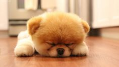 We are providing the best pictures of teddy bear puppies and dogs within an album. Kindly, pin it or share it on your social media profiles. Teddy Bear Puppy Images We can find more adorable puppie…