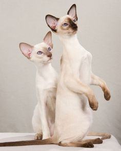 Siamese. Only cat that sort of looks like a dog. Awesomeness!