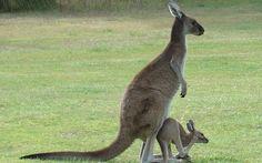 kangaroos pictures (1)