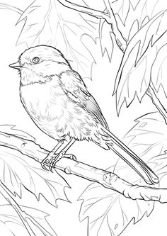 Black-capped Chickadee Coloring page Make your world more colorful with free printable coloring pages from italks. Our free coloring pages for adults and kids. Bird Coloring Pages, Free Printable Coloring Pages, Adult Coloring Pages, Coloring Books, Pattern Coloring Pages, Bird Drawings, Animal Drawings, Drawing Animals, Black Capped Chickadee