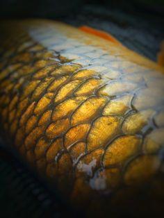 Scale perfect carp