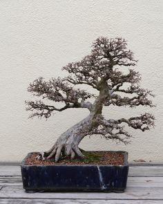 A Chinese Elm (Ulmus parvifolia) bonsai, Chinese Collection 111, on display at the National Bonsai & Penjing Museum at the United States National Arboretum. According to the tree's display placard, it has been in training since 1946. It was donated by Yee-sun Wu.