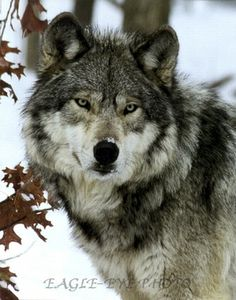 a other gray wolf