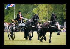 A typical Friesian combination, two horses in front of each other. Its called tandem driving. There was a reason for driving this style in the old days. Two Horses, Draft Horses, Pretty Horses, Horse Love, Horse Harness, Tavistock, American Saddlebred, Horse And Buggy, Horse Carriage