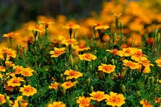 Tagetes tenuifolia. Источник: Викисклад