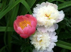 Peonies (ours)