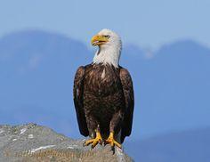 Hot Eagle