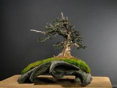 Yamadori Yew Bonsai tree - Check out a great selection of Bonsai tree tips and resources @ http://smddesigns.wix.com/bonsai-tree-mastery