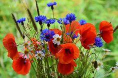 Mohn, Mohnblumen, Kornblumen - Kostenloses Bild auf Pixabay - 1431174