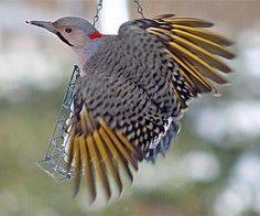 Northern Flicker.  I like this woodpecker!  I think the colors on it are beautiful.  They like to frequent a backyard bird feeder if you put out suet.  They are one of the few birds who will stand their ground when a flock of Eastern Starlings try to eat all the food!