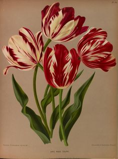 Late Rose Tulips - high resolution image from old book. Plant Illustration, Botanical Illustration, Botanical Drawings, Botanical Prints, Flower Prints, Flower Art, Sibylla Merian, Tulip Tattoo, Tulip Painting