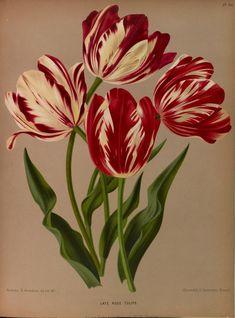 Album van Eeden ?Haarlem's flora ? afbeeldingen...