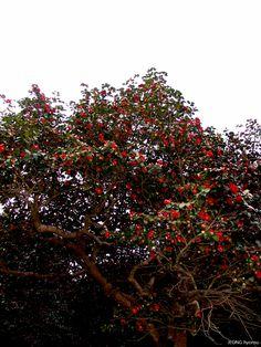Camellia of SEONUNSA Temple, Gochang, Jellabuk-Do, S.KOREA. (2005.4)