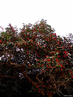 Camellia of SEONUNSA Temple, Gochang, Jellabuk-Do, S.KOREA. (2005.4)