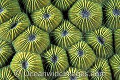 Faviid Coral Diploastrea heliopora
