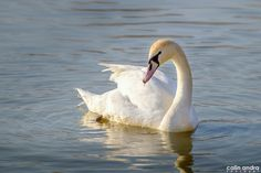 Gorgeous swan in Arad