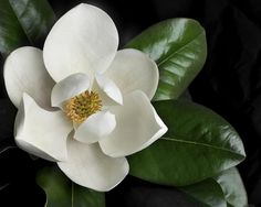 Magnolia Grandiflora.....truly a Southern phenomena---beauty and fragrance; spectacular