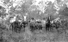 Florida Memory - Two horse drawn teams in the palmettos - St. Cloud, Florida