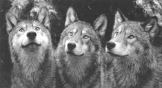 allevamento fossombrone, lupi