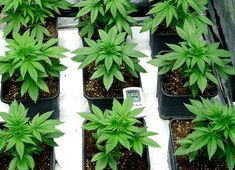 Easy Grow Schedule For Soil Growers - I Love Growing Marijuana Growing Weed Indoors, Growing Herbs, Marijuana Plants, Cannabis Plant, Hydroponic Grow Systems, Cannabis Cultivation, Winter Garden, My Flower