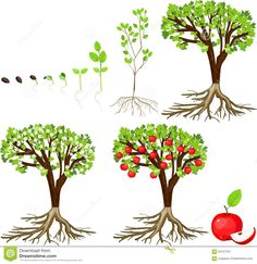 Life cycle of apple tree stock vector. Illustration of germination - 64727247 Life cycle of apple tr