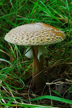 Blusher Mushroom (Amanita rubescens)