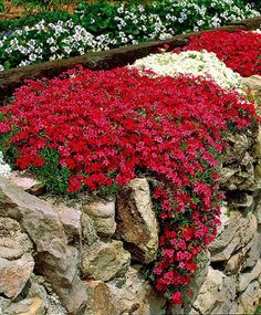 Jardim Aubrieta. agrião da rocha