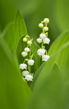 ~~ Lily of the valley by * Yumi * ~~