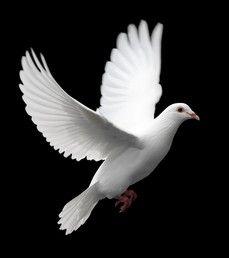 L'envoi de la colombe