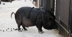 @Jessica Jones...Remember Fern:) this pig looks just like her!