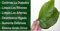 Estas hojas producen demasiado insulina, limpian riñones y arterias. Conoce cómo prepararlas - Remedios Chama