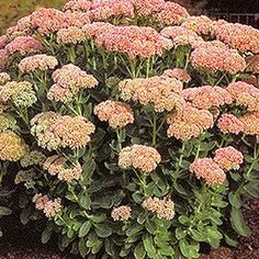 Stonecrop - aka Sedum; mine is a late bloomer