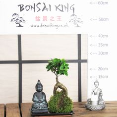 Buddha of Infinite Light Bonsai Tree Ficus Ginseng Moss Ball with Hand Crafted Tray Stunning  #trees #baytreewedding #gardendesign #palmtrees #baytree #indoorplants #olivetrees #houseplants #wetmyplants