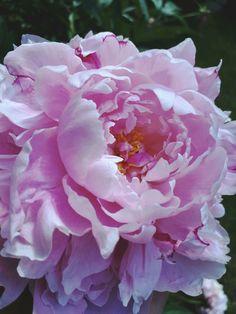 Soft pink peonies ❤