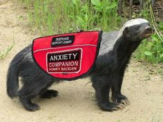 """A honey badger wearing a red service animal vest. The vest has two patches that read, """"Emotional Support Animal"""" and """"Anxiety Companion Honey Badger. Funny Dogs, Funny Memes, Hilarious, Emotional Support Animal, Honey Badger, Strip, Therapy Dogs, Service Dogs, Spirit Animal"""