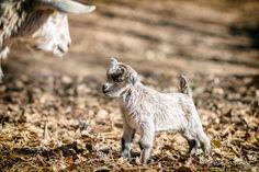 baby goats serenbe