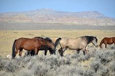 The BLM plans to gather horses and administer the PZP-22 fertility control vaccine to mares returned to the complex.