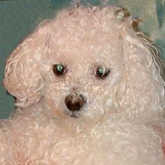 Muki 2004 - Bichon Bolognese / Boloňský psík Bichon Bolognese, Dogs, Animals, Animales, Animaux, Pet Dogs, Doggies, Animal, Animais