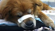 """Che, a 14-year-old lab-chow mix, is being hailed as a hero after reportedly saving his owner from a raging house fire in Philadelphia that almost took both of their lives. """"She must have tried to get out and lost consciousness,"""" Diana Heiney, of Wayne, Pennsylvania, a lifelong friend of the dog's owner, told ABC News. When the Philadelphia Fire Department arrived at the scene, they found both Che and the homeowner unconscious."""